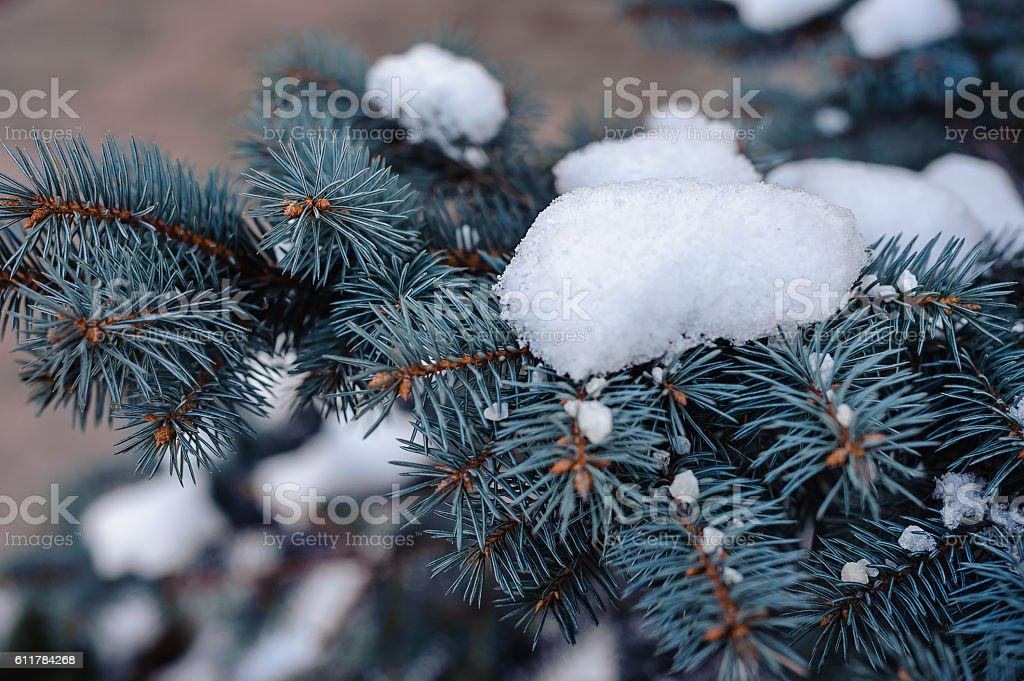 Snow on blue spruce stock photo