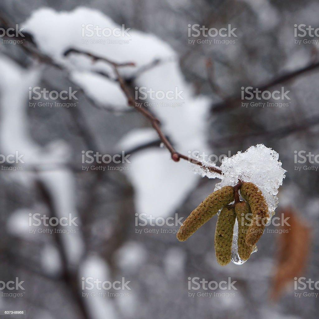 Snow on catkins of alder tree. stock photo