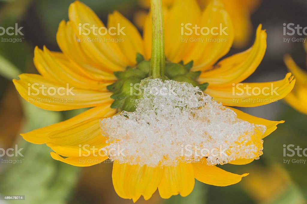 Snow on Chrysanthemum stock photo