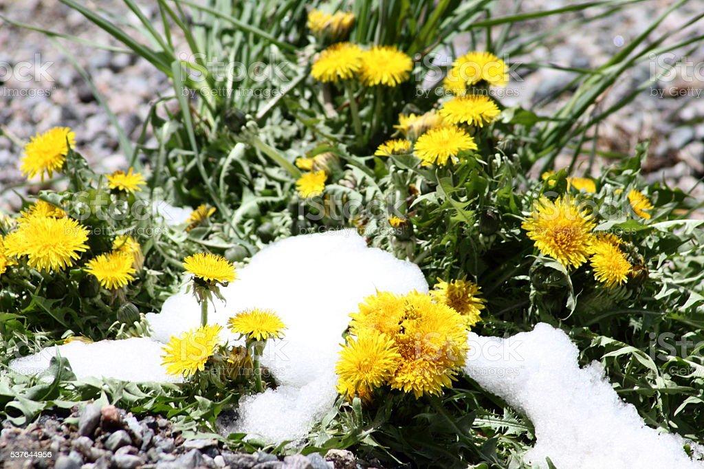 Snow on dandelions, in Spring stock photo