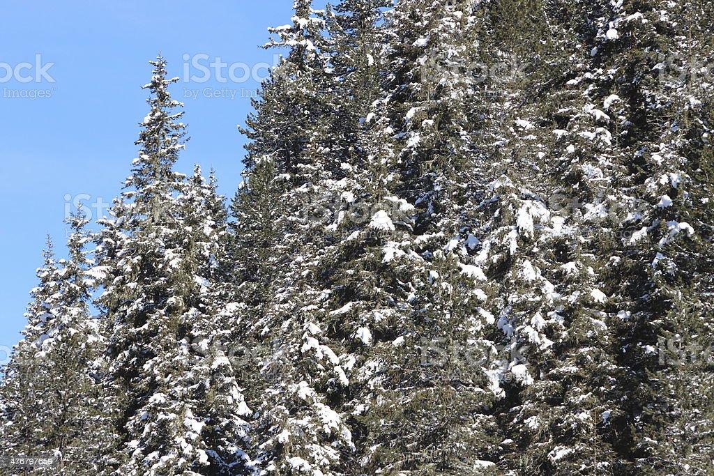 Snow on European Spruce, Close-up stock photo