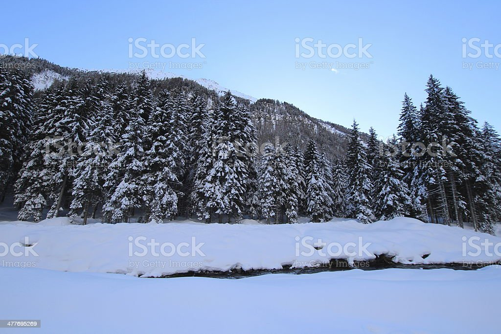 Snow on European Spruce, Forest in Winter Scenery, Twilight royalty-free stock photo