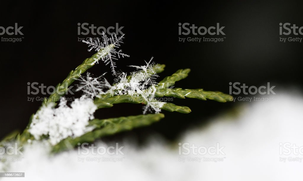 snow on fir branches, macro royalty-free stock photo