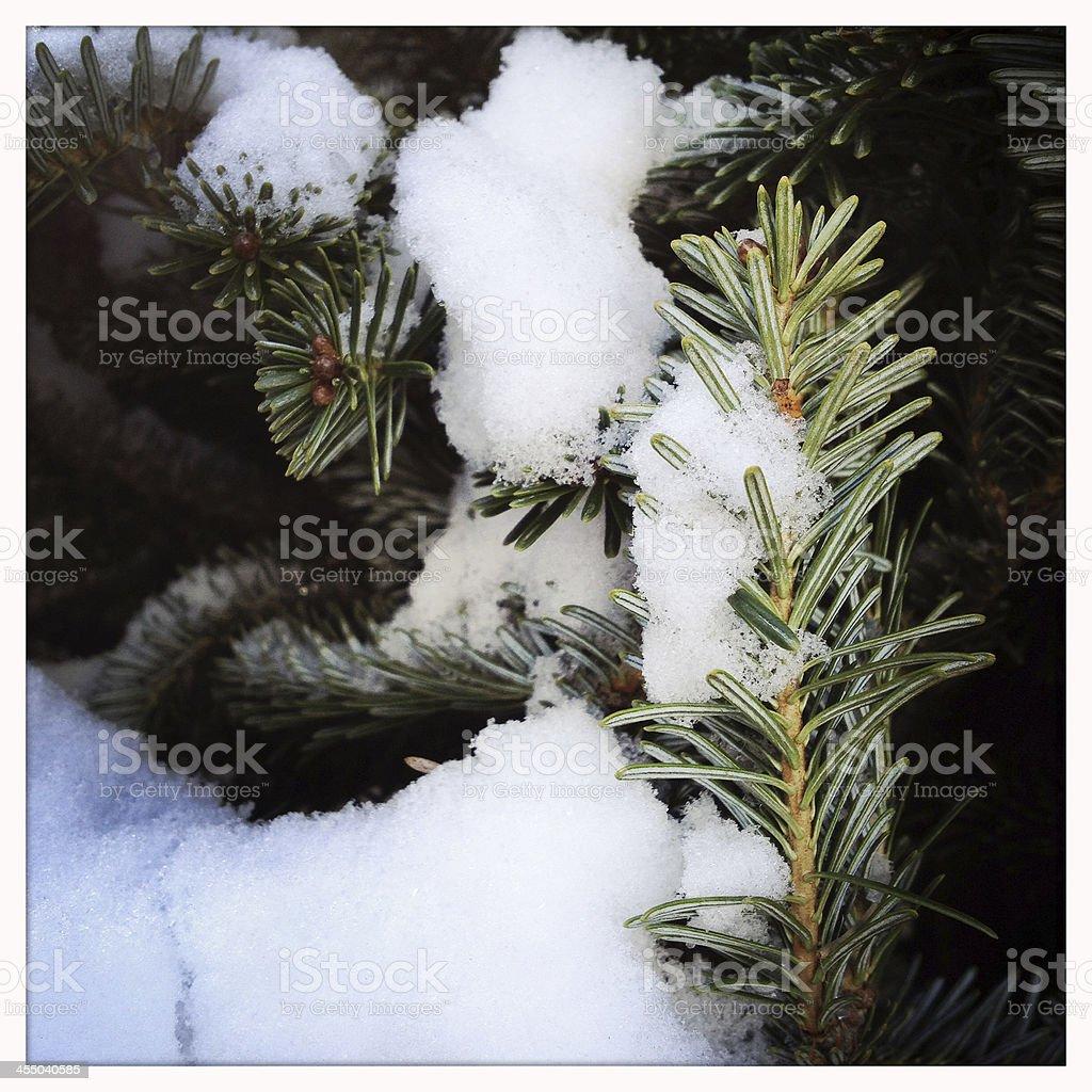 Snow on Pine Tree stock photo