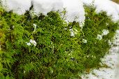 Snow on the green bushes