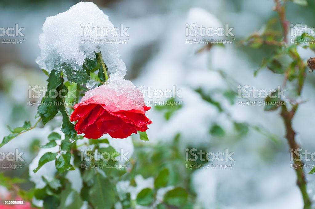 Snow on the rose stock photo