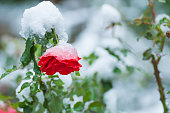 Snow on the rose