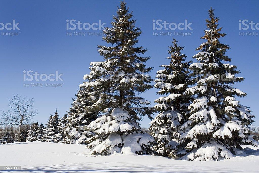 Snow on Winter Evergreen Pine Tree Forest Landscape, Minneapolis Minnesota royalty-free stock photo