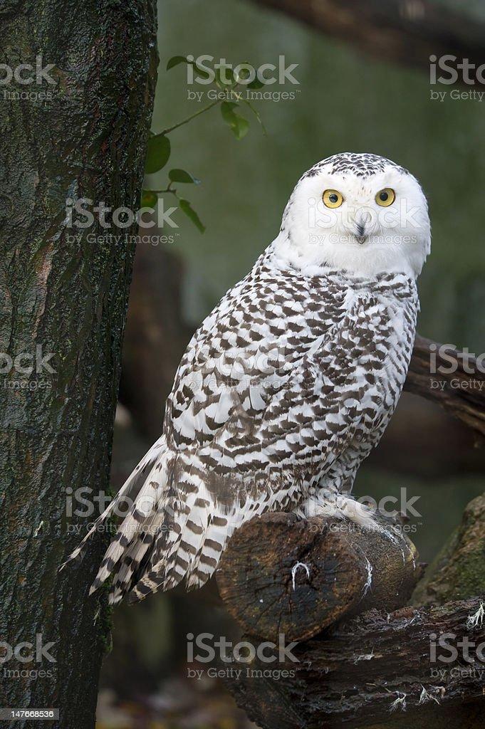 snow owl royalty-free stock photo