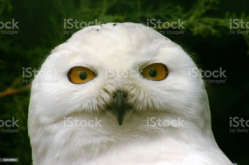 snow owl royalty-free stock photo