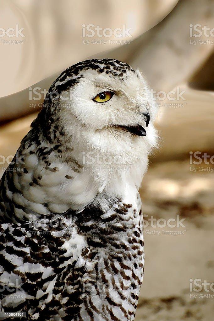 Snow owl portrait stock photo