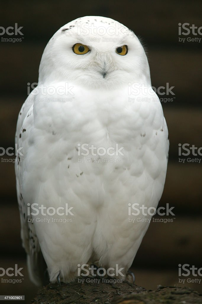 Snow owl portrait royalty-free stock photo