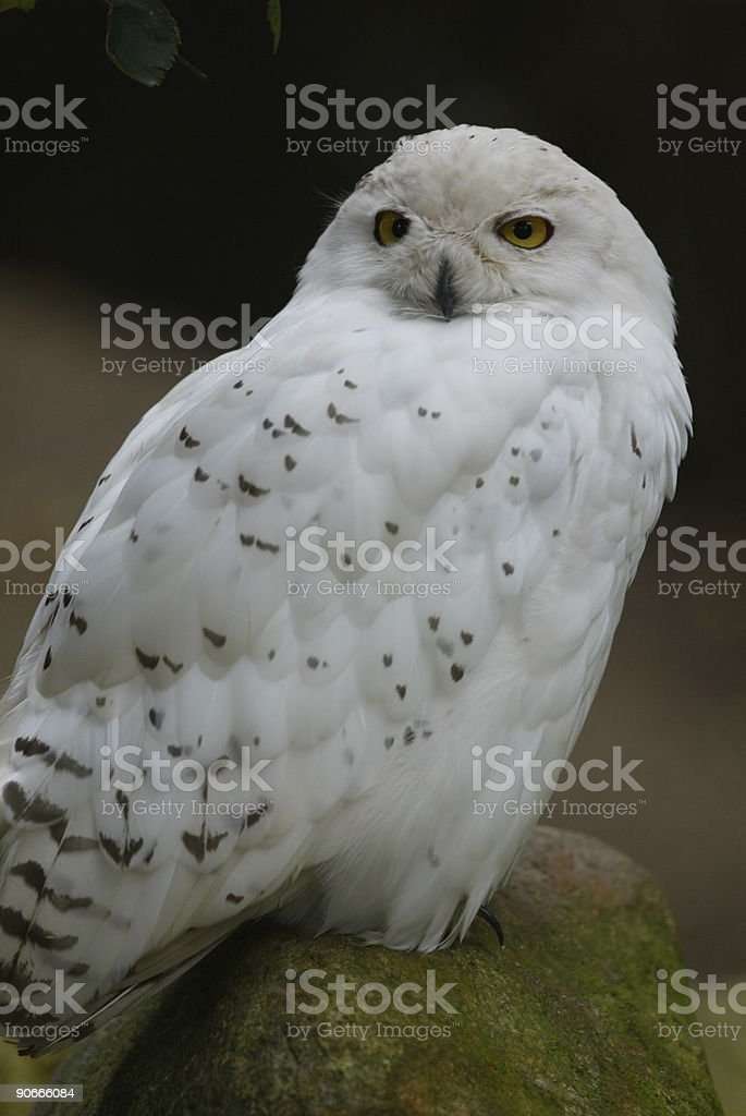 Snow owl sitting on rock royalty-free stock photo