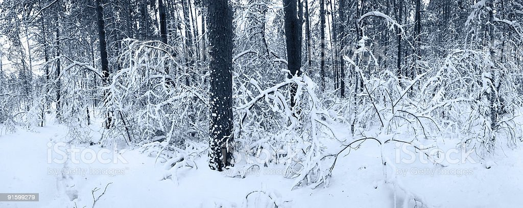 Snow panorama in winter forest royalty-free stock photo