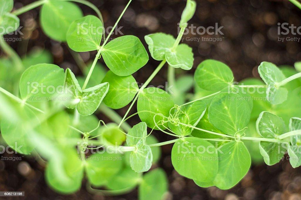 Snow pea plant stock photo