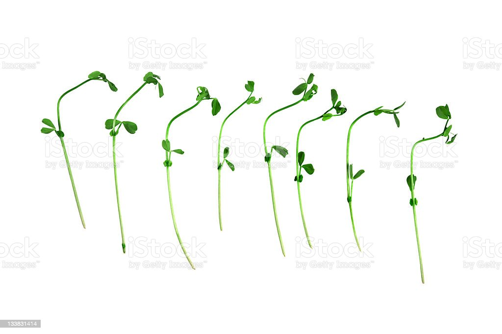 Snow Pea Sprouts stock photo