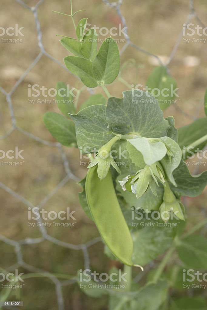 Snow Peas Growing on Cyclone Wire Fence royalty-free stock photo
