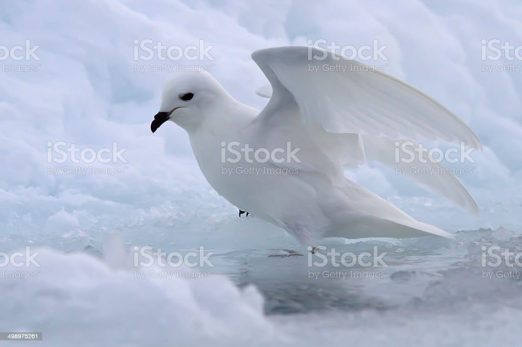 Snow petrel near the gap in the ice of Antarctica stock photo