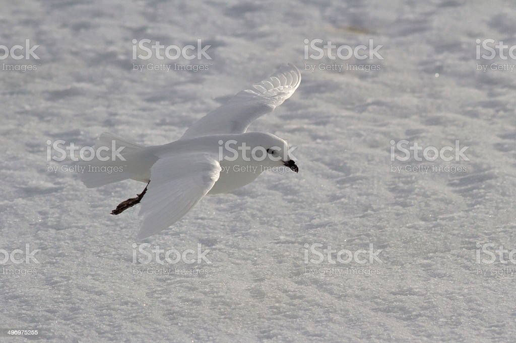 Snow petrel which flies over the snowy plains stock photo