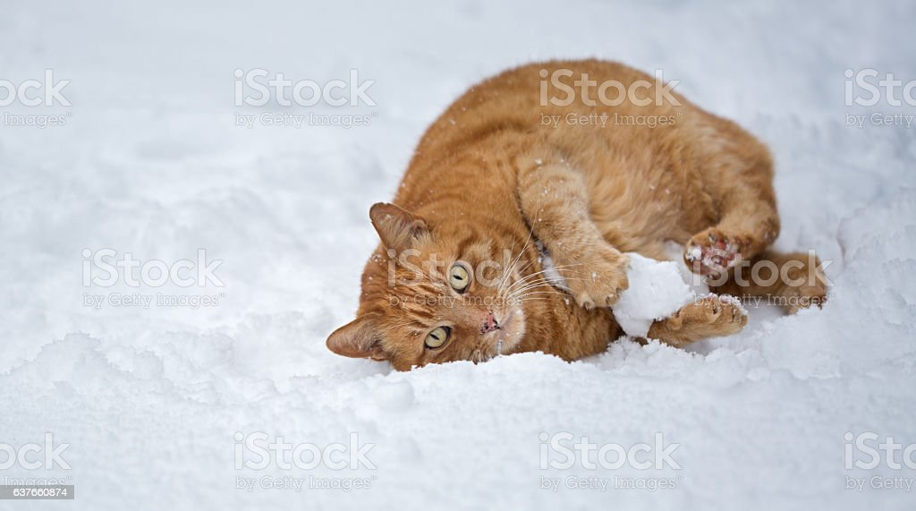 Snow play of a cat stock photo