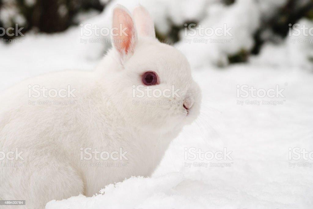 Snow rabbit stock photo
