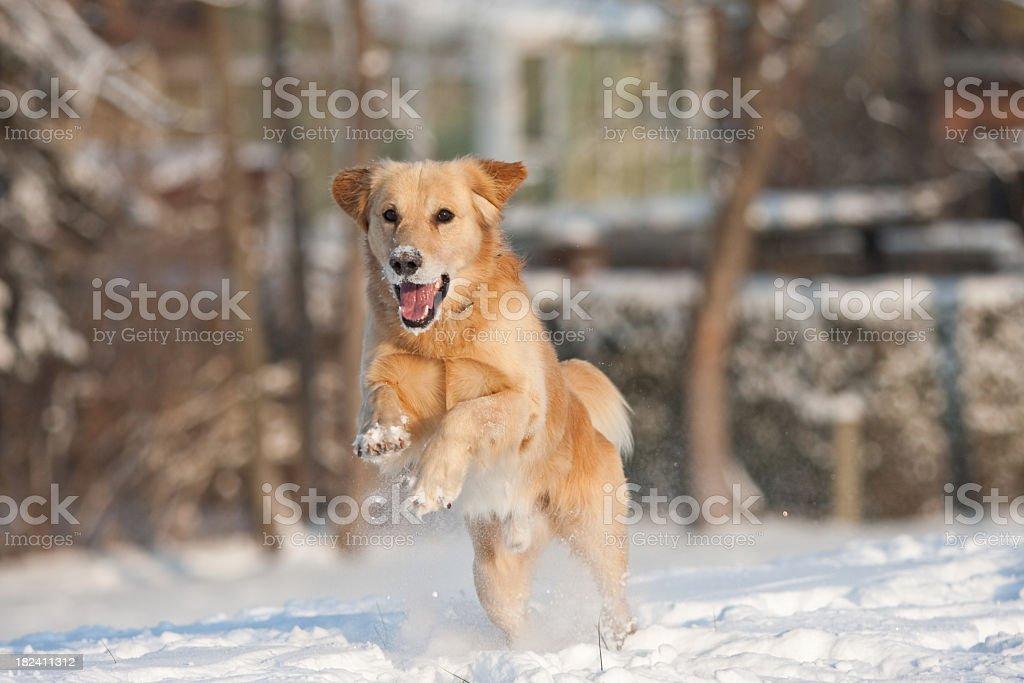 Snow retriever stock photo