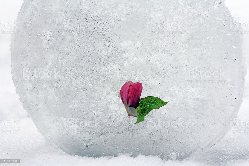 snow Rose in the ice stock photo