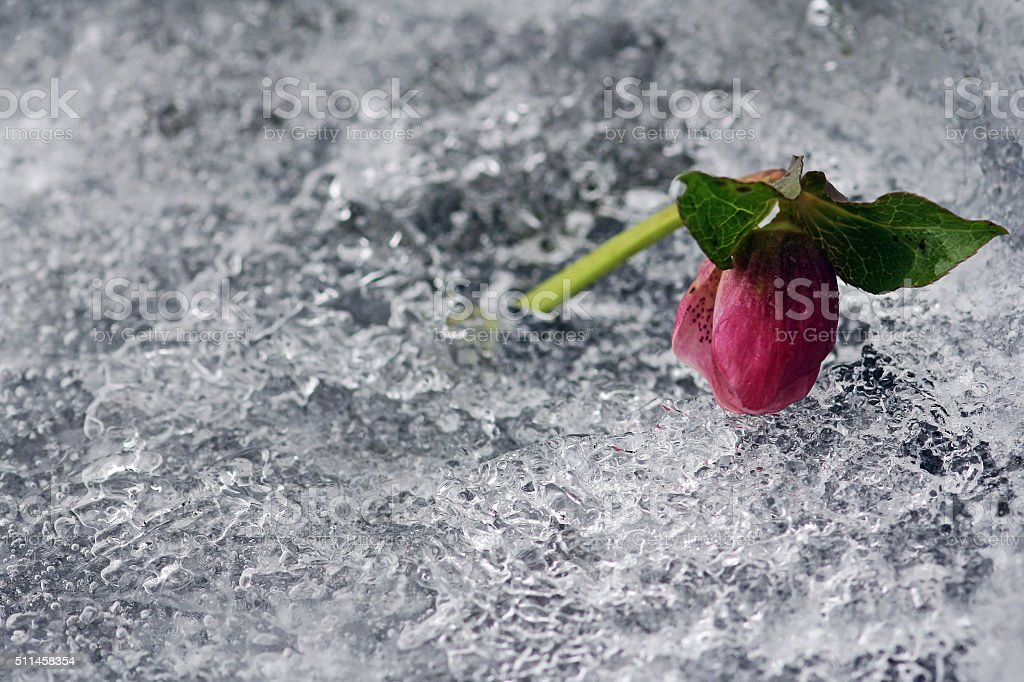 snow rose on the ice stock photo