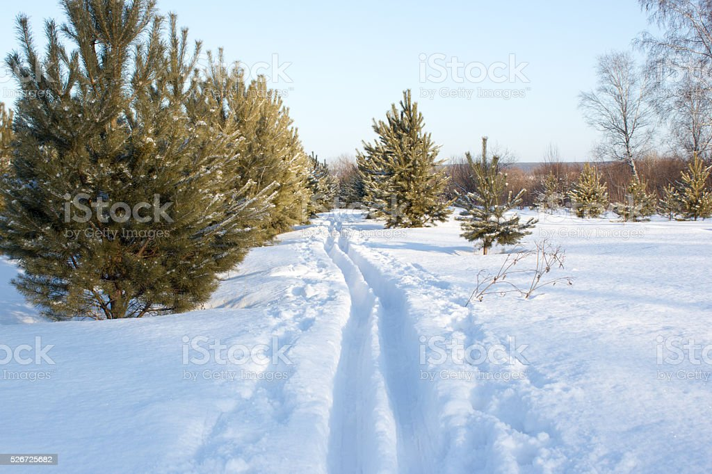 Snow skiing Track in pine forest stock photo
