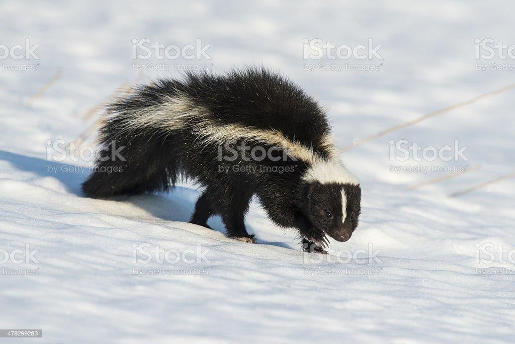 Snow Stinker stock photo