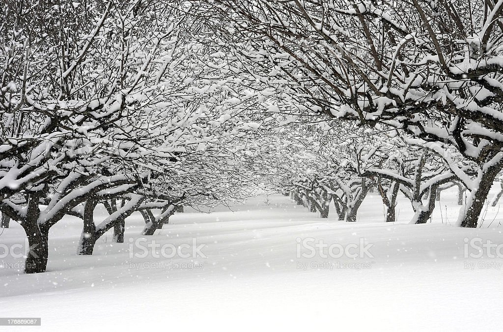 snow storm in an orchard royalty-free stock photo