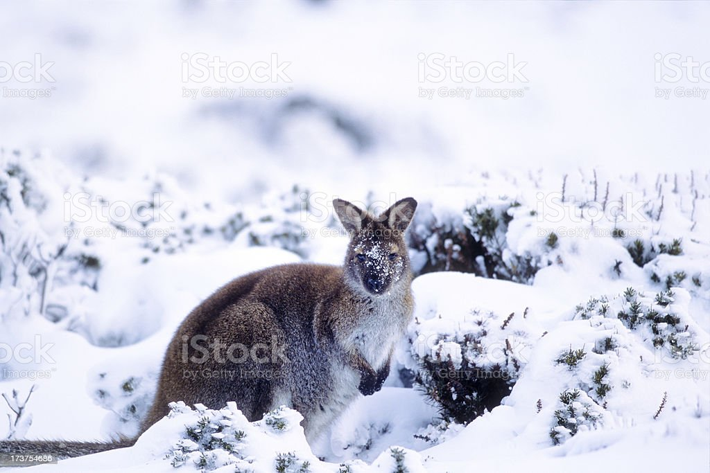 snow wallaby stock photo