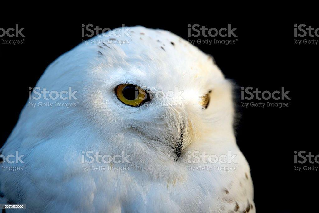 Snow white owl close up detail stock photo