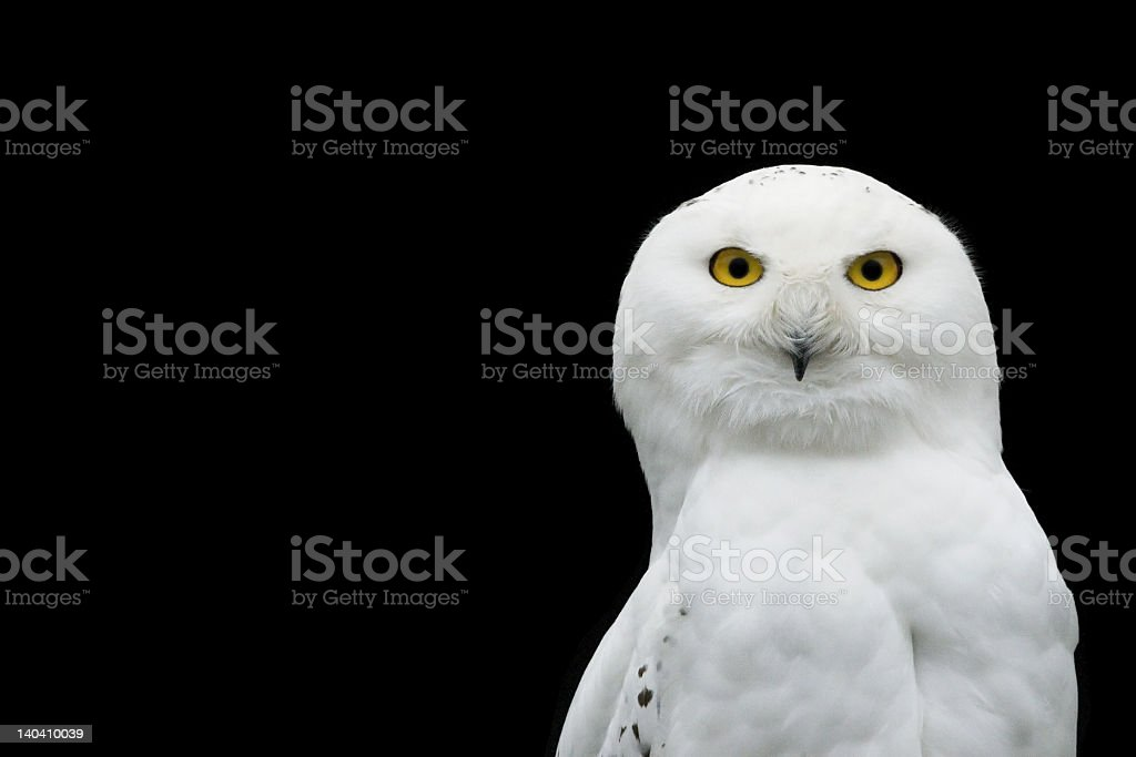 A Snow White owl on a black background royalty-free stock photo