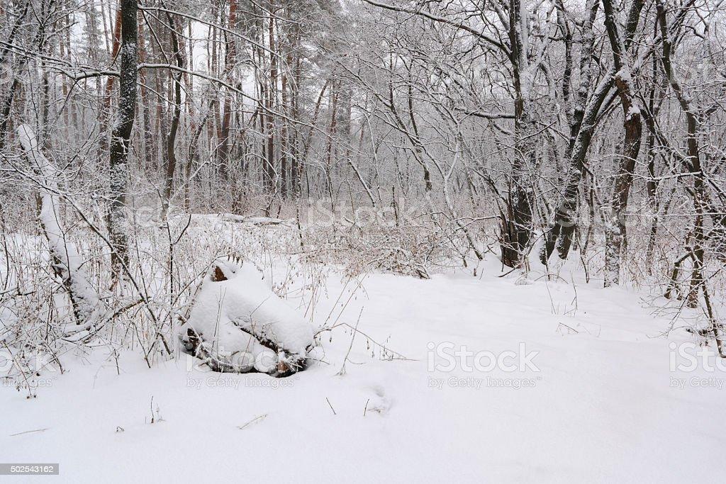 Nieve winter forest foto de stock libre de derechos