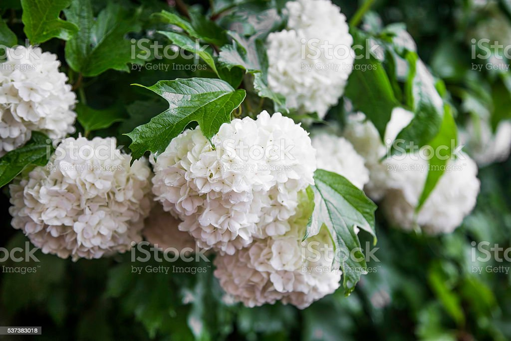 Snowball flowers (Viburnum opulus) with leaves in the garden stock photo