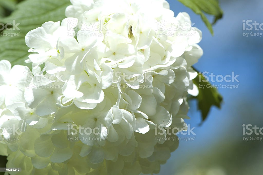 Snowball tree blossoms royalty-free stock photo