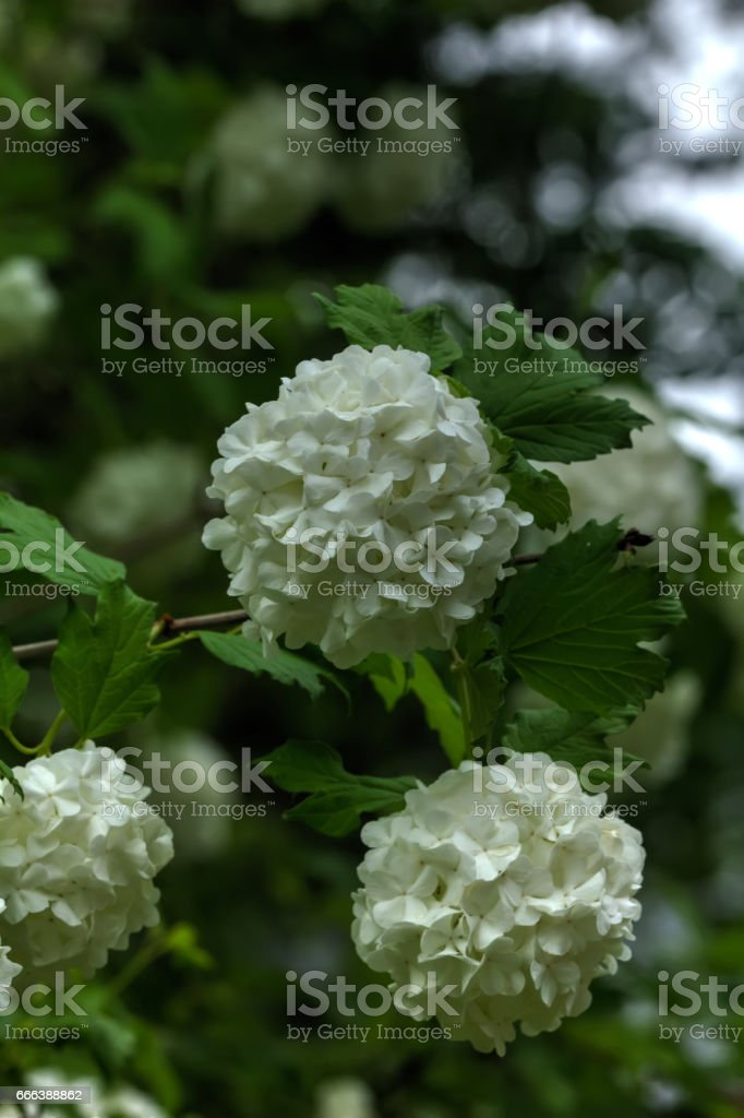 Snowball tree. Garden plant. stock photo
