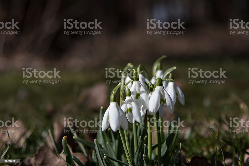 Snowbells in the sun royalty-free stock photo