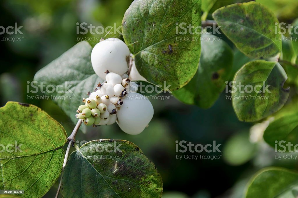 Snowberry albus shrub in park, Pancharevo stock photo