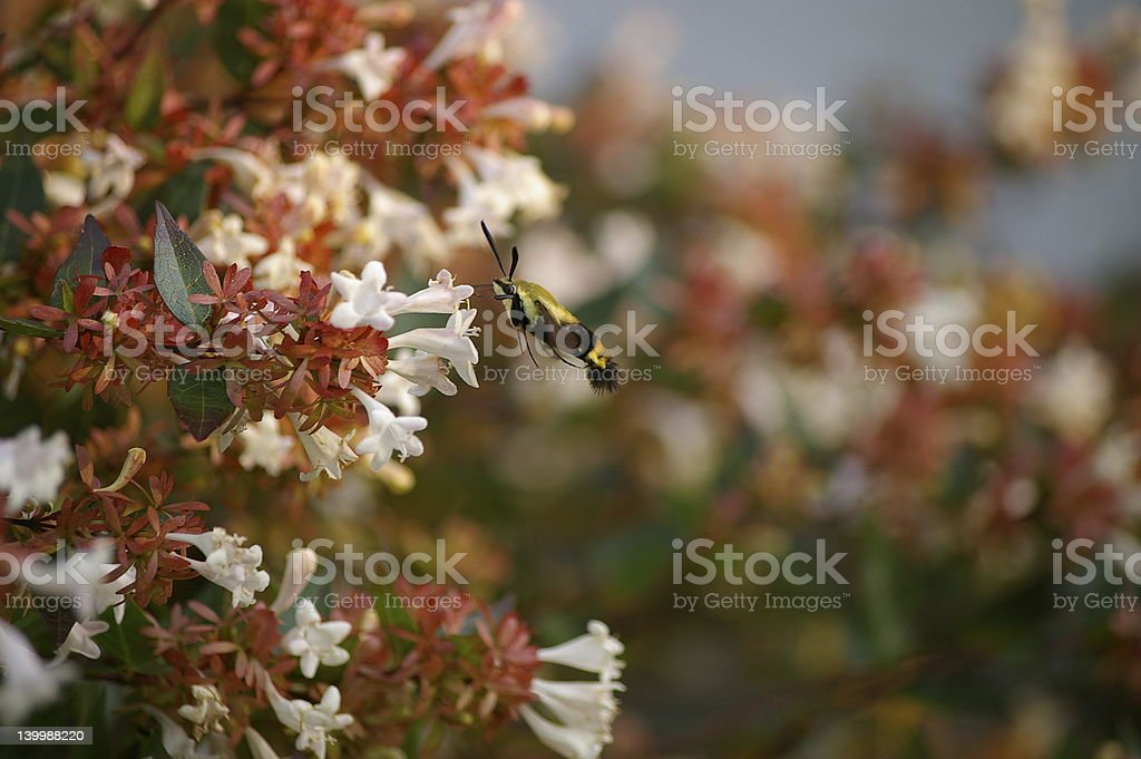 Snowberry Clearwing Hummingbird Moth royalty-free stock photo