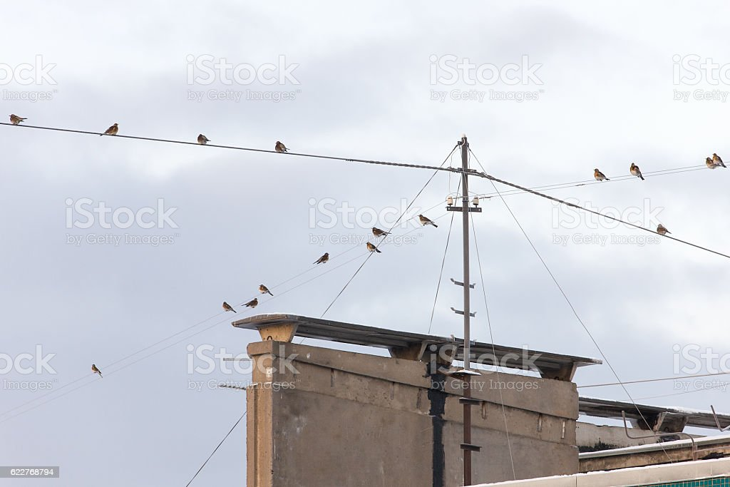 snowbird flock on wires above the roof stock photo