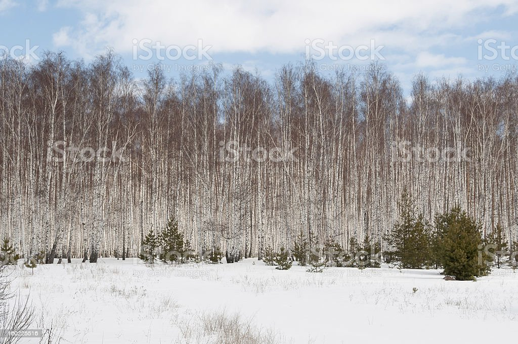 Snow-bound field and birch grove against blue sky background royalty-free stock photo