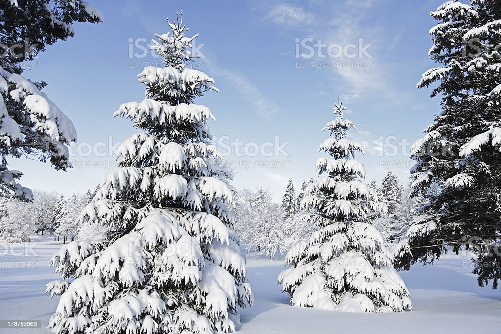 Snowcapped Evergreens After Winter Blizzard stock photo