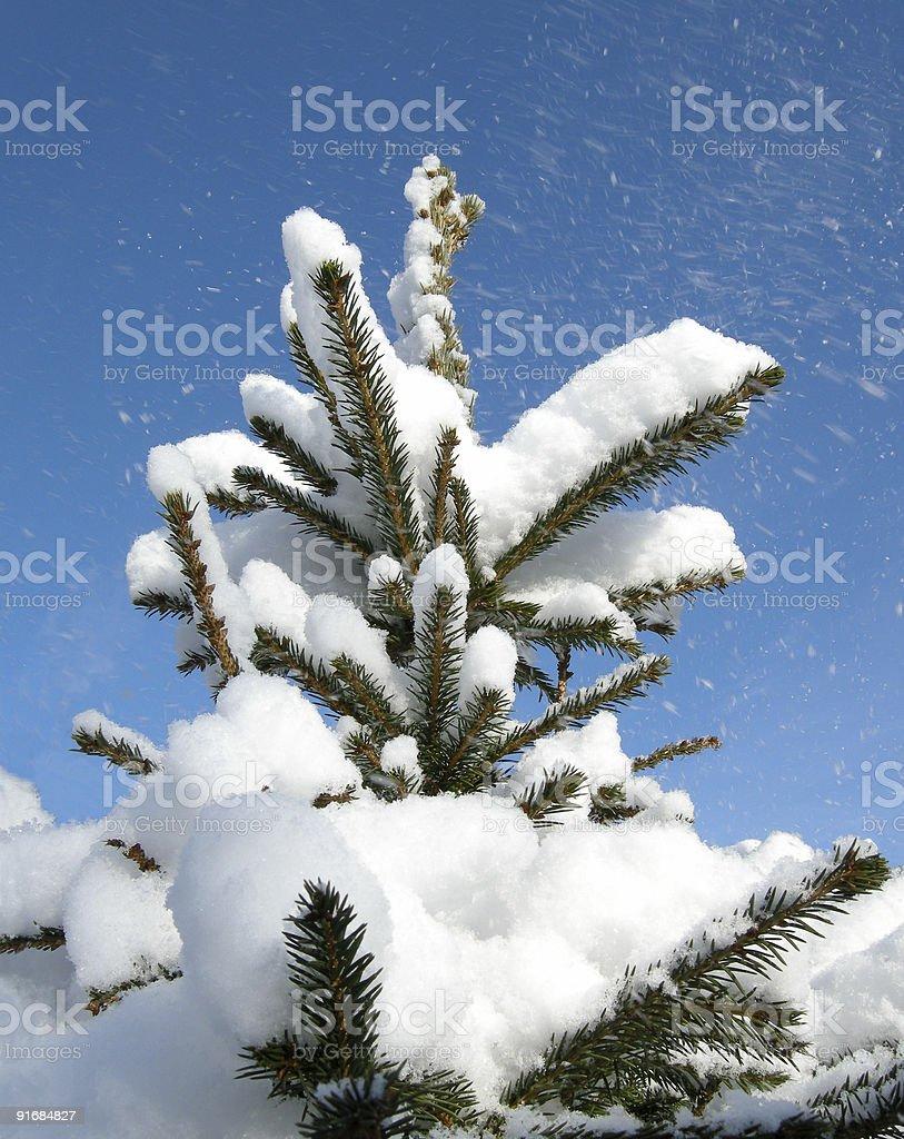 snowcapped pine tree royalty-free stock photo