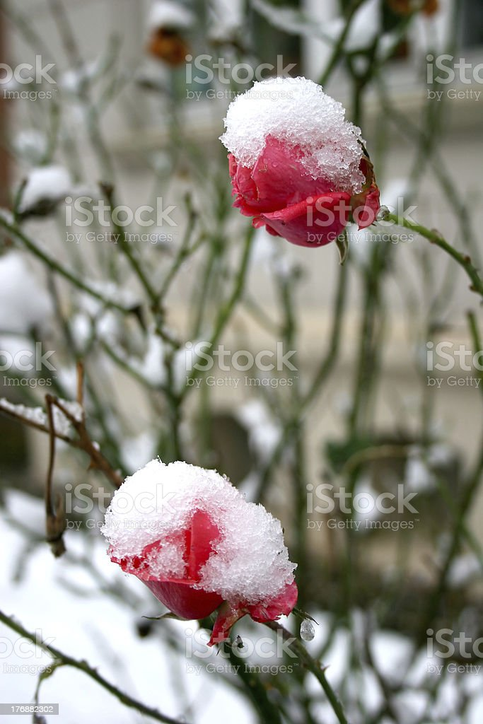 Snowcapped red roses royalty-free stock photo
