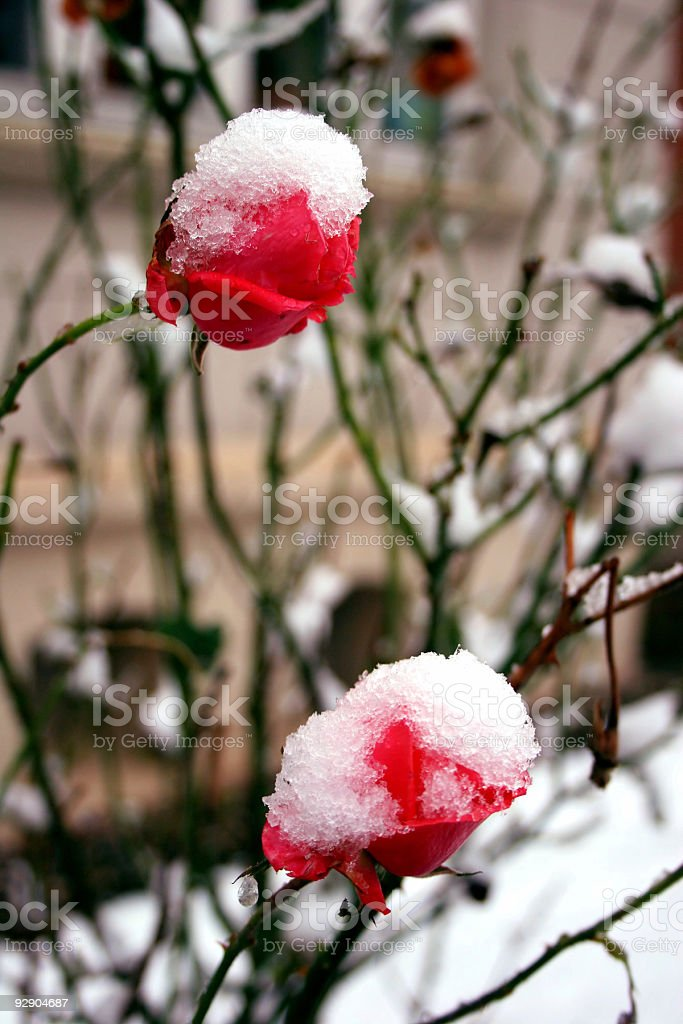 Snowcapped roses in winter royalty-free stock photo
