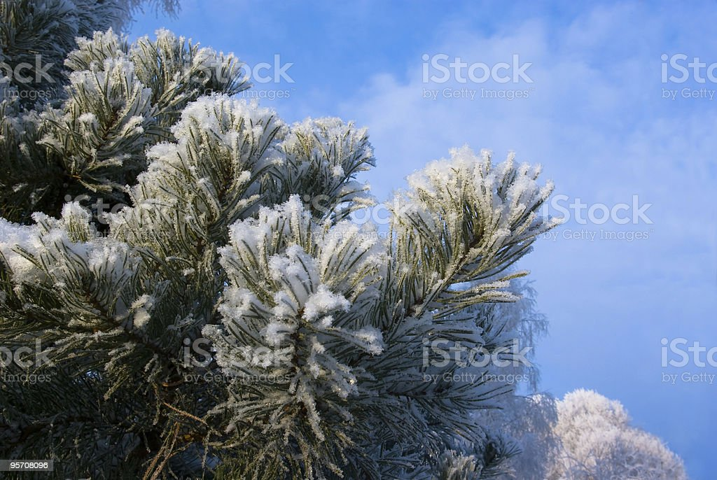 Snow-clad branch of pine on background blue sky royalty-free stock photo