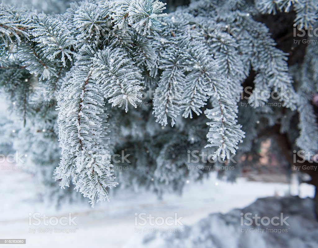 Snow-covered branch of a pine in winter park stock photo