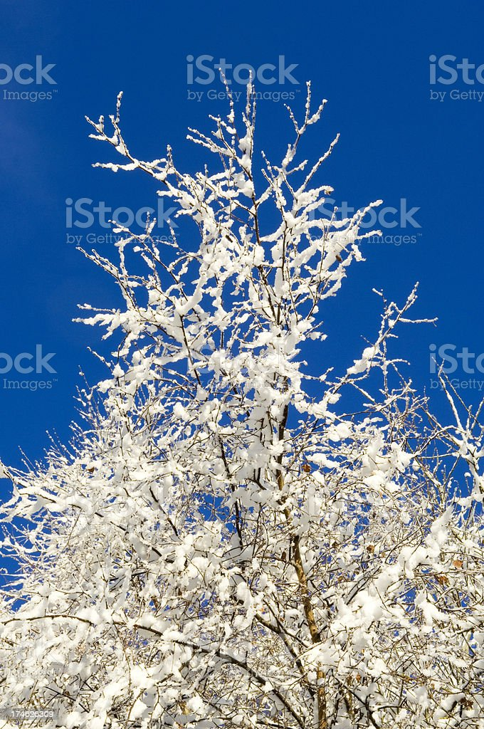 Snow-covered branches stock photo